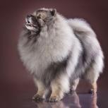 Породные щенки вольфшпица (кеесхонда), Оренбург